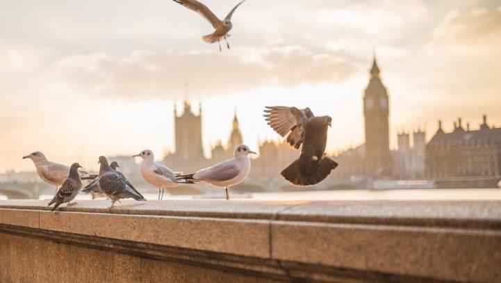 Taubenfüttern ist kein Tierschutz!